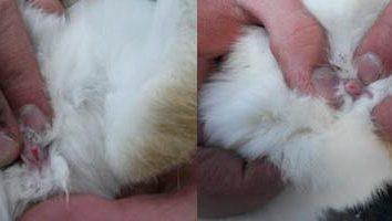 Tipp: Wie das Geschlecht des Kaninchens bestimmen