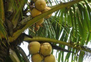 Jak przydatne mleko kokosowe?