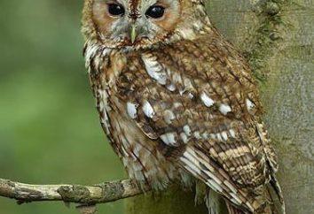 uccelli notturni: il nome. uccelli notturni Russia