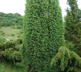 Cała jałowca roślin: sadzenie i pielęgnacja, indywidualne cechy