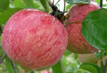 Paski Cinnamon – legendarne rosyjskie odmiany jabłoni