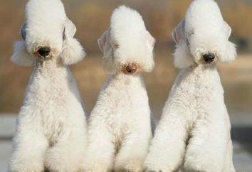 Bedlington Terrier pies. Bedlington Terrier: zdjęcia, opinie