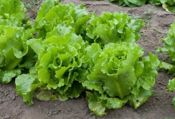 Kucheryavets Odessa insalata: tecnologia di coltivazione di verde utile