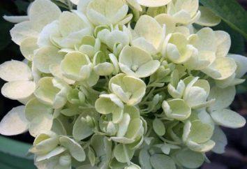 Hydrangea paniculata Bombshell: opis, sadzenie, pielęgnacja