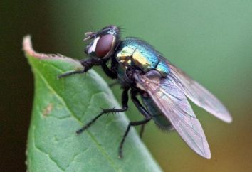 Blowfly: opis, larwy, żywotność