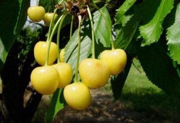 Cherry Drogan jaune: description de la variété, les caractéristiques, des critiques de plantation et de soins