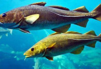 Peixes Árctico bacalhau, o habitante dos mares do norte