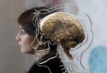 parties du cerveau et leurs fonctions: la structure, les caractéristiques et descriptions