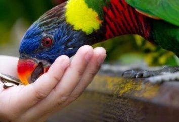 I pappagalli di alimentazione a casa?