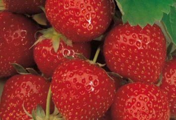 Elsanta morangos: apresenta variedades