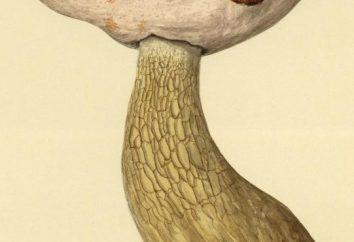 Boletus edulis falso: come distinguere dal reale?