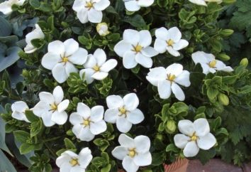 Gardenia Jazmín. El cuidado y el cultivo