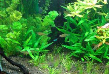 Engrais pour les plantes aquatiques. plantes d'aquarium pour les débutants. plantes d'aquarium sans prétention. engrais maison pour plantes d'aquarium
