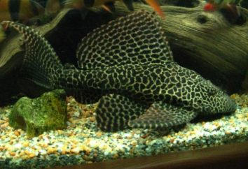 Akwarium pterigopliht ryby brokat – właściwy wybór