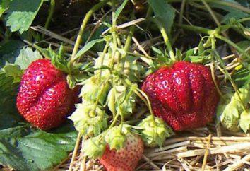 Fragola grader: descrizione della varietà, semina e la cura