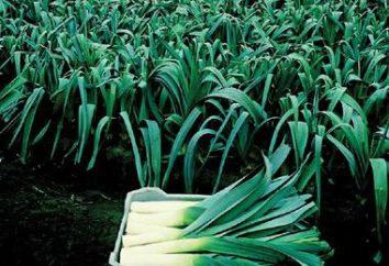 Alho-poró: descrição, características de cultivo e armazenamento
