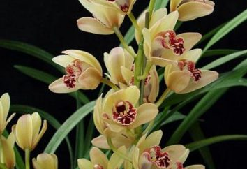 Cymbidium Orchidea: come prendersi cura?