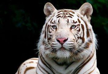 Bengale tigre blanc, étonnant et merveilleux