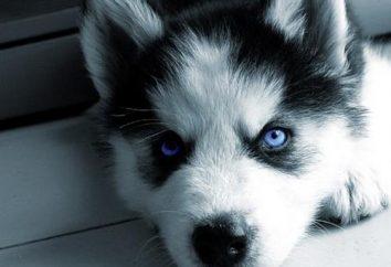 ¿Cuál es la diferencia entre los perros de tiro ronca? ¿Cómo distinguir entre ronca y ronca?