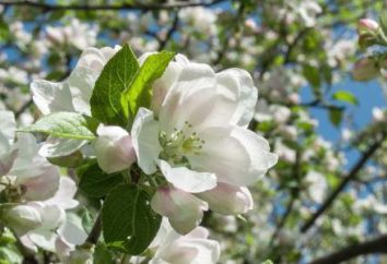 Jabłko ćma: kontrola działania, zapobieganie i zalecenia
