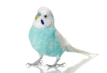 Wybór nazwy dla papug dziewcząt