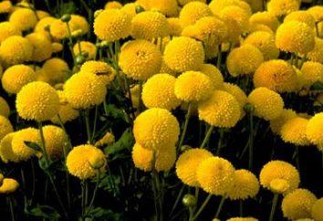 sphérique Chrysanthème: la culture, l'élevage, les soins. Boule coréenne Chrysanthème. Comment garder les chrysanthèmes d'hiver
