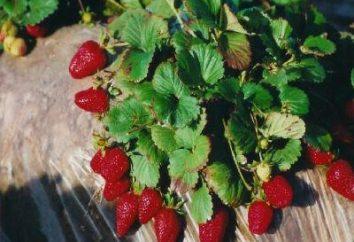 Betten für Erdbeeren unter agrovoloknom