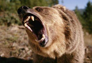 Atak niedźwiedzia na osobę: kto jest winien i co robić?