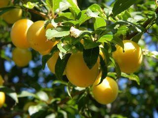 """Prugne """"Presente per Saint-Petersburg"""": descrizione della varietà, semina e la cura"""