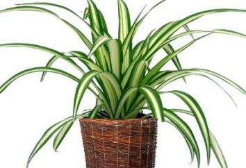 Ojczyzna Chlorophytum. pokój Flower Chlorophytum: Pielęgnacja