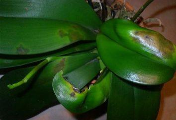 Phalaenopsis Krankheit ist das Ergebnis der unsachgemäßen Pflege