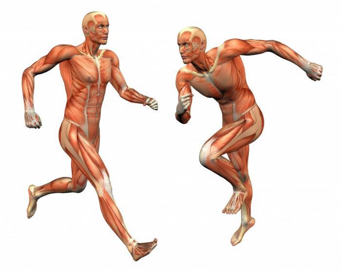 Muskelgewebe: Struktur und Funktion. Merkmale der Struktur des ...