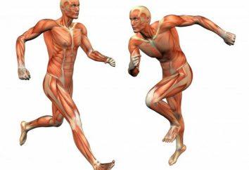 Il tessuto muscolare: la funzione e la struttura. Caratteristiche della struttura del tessuto muscolare