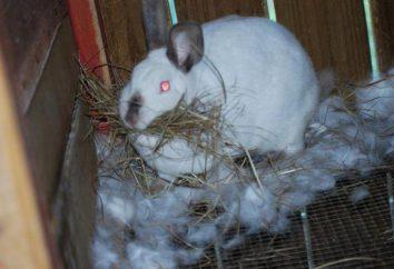 Comment élever des lapins, combien aller à la grossesse, en particulier petit bois