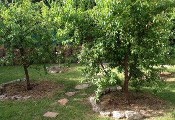 Che cosa può essere messo sotto un melo in giardino?