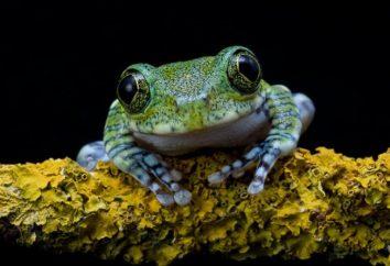 Frog – zwierzę lub owad? Oderwanie się od ogona płazów