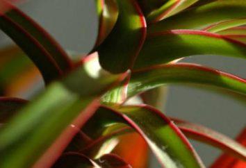 """Rośliny doniczkowe na literę """"D"""". Rośliny na literę """"B"""", """"B"""", """"G"""""""