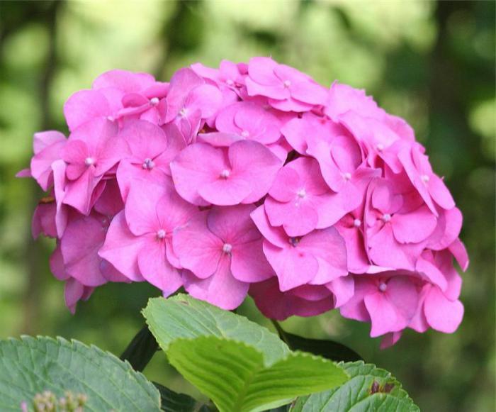 Hydrangea annabelle la plantation et l 39 entretien la description de la vari t - Entretien et coupe des hortensias ...