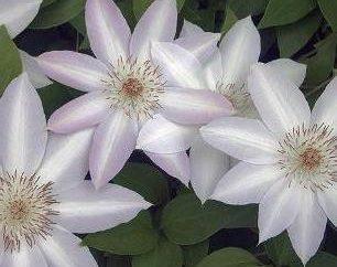 Flower Clematis – le plus populaire scansorial de vigne d'ornement