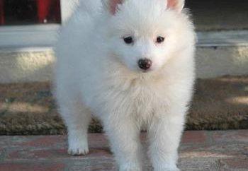 American Eskimo Dog – mały cud