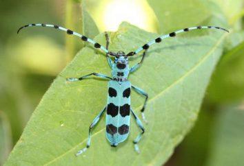 Alpine Kózkowate – najpiękniejsza chrząszcz
