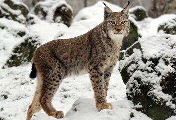 lynx eurasien: la description et la photo. Lynx se trouve dans toutes les régions russes ordinaires