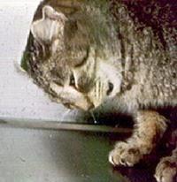 badigeon félin – dans la mesure où il est dangereux pour votre animal de compagnie