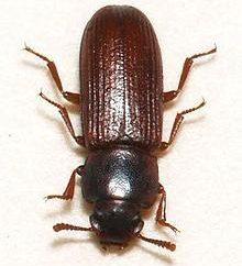 Pest eines Bugkäfers: wie man es loswerden kann