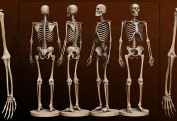 Knochen einer Person. Anatomie: menschliche Knochen. Ein menschliches Skelett mit dem Namen der Knochen