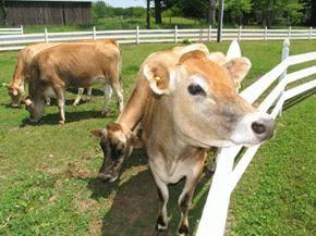 Ile mleka krowa daje dzień, a co wpływa na wydajność mleka