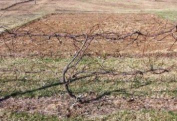Wie man die Trauben für den Winter schließen: die wichtigsten Möglichkeiten,