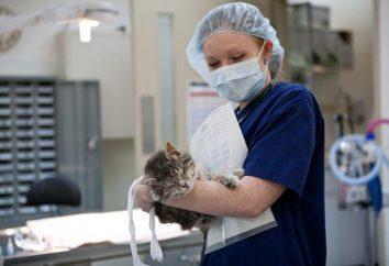 chats La castration: les soins après la chirurgie. Avantages et inconvénients de la stérilisation