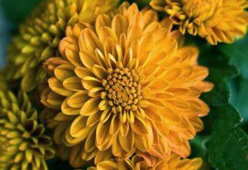 Gelbes Chrysantheme – die Königin des Herbstes