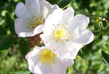 May Day Rose (rosa canina): descrizione, foto
